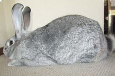 Giant Chinchilla Rabbit Our Bucks